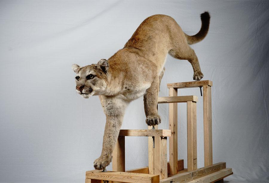 美洲狮2.jpg